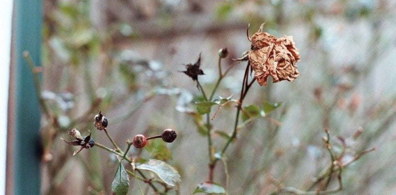 Aprende cómo revivir una planta seca