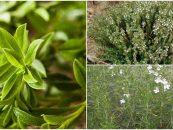 Ajedrea, planta con caracteristicas medicinales y de cocina