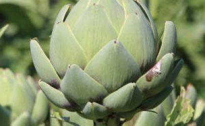 Cuántas alcachofas te da una planta