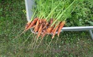 carrots-750