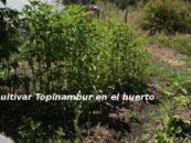 Topinambur, patacas o bien tupinambo: caracteristicas y cultivo