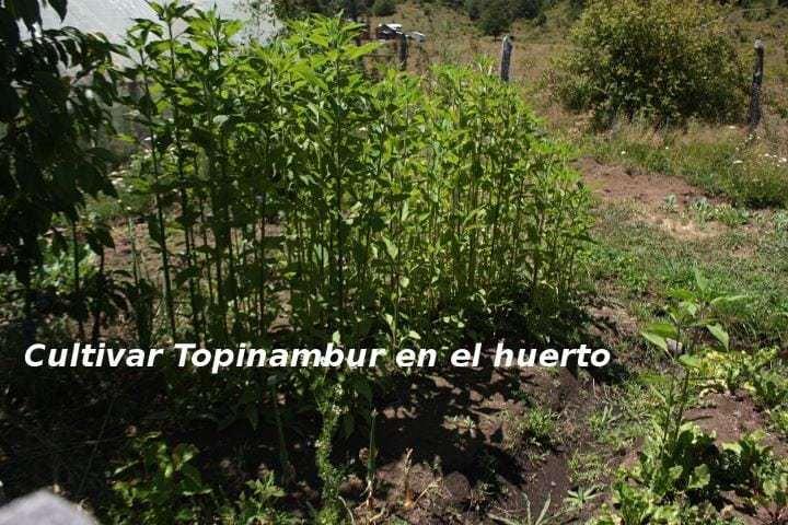 tupinambo