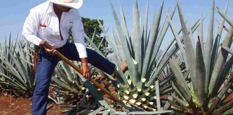 Sirope de agave, caracteristicas y contraindicaciones del medicamento