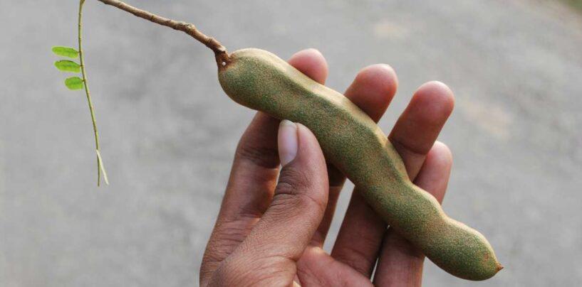 Tamarindo. Caracteristicas de la fruta del Tamarindus sugiere