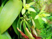 Vainilla, aromatizante con caracteristicas medicinales